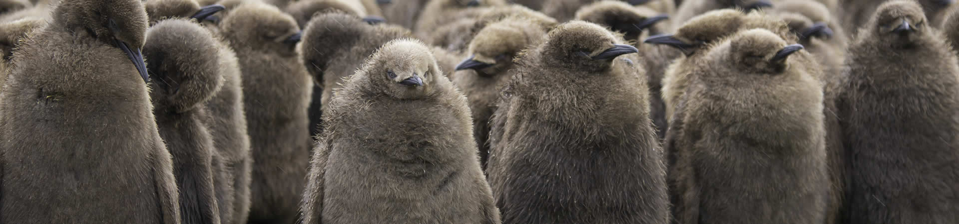 jonge-pinguin